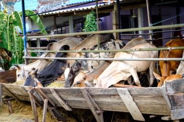 vacas-tailandesas-comendo-feno-de-alfafa-da-manjedoura_28914-346